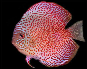 Discus Fish Exporter (...