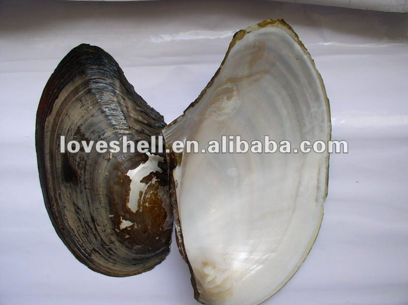 freshwater mother of pearl shell