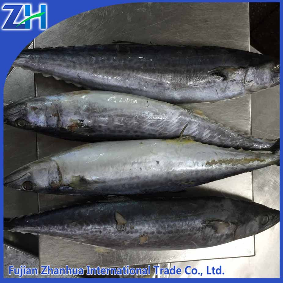 new catch in 2016 high quality small size frozen pacific mackerel