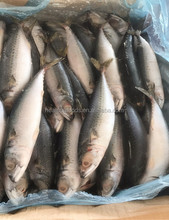BQF Freezing Process and Piece Shape Pacific Mackerel from Chinese Exporter