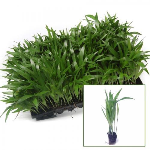Chamaedorea seifritzii palma di bamb semi tropicali b v for Semi di bambu