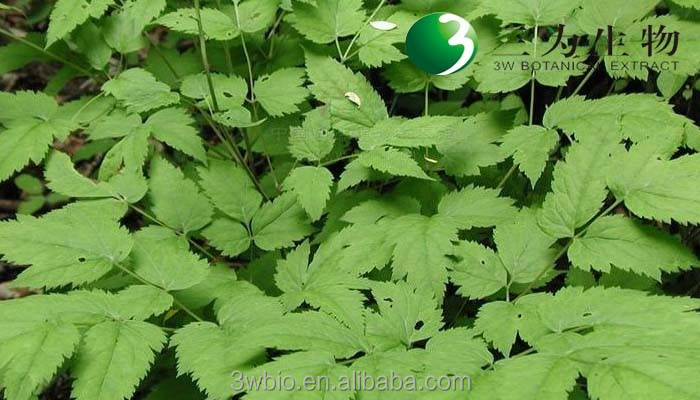 Top quality actaea racemosa extract 2.5%~8.0% Triterpene Glycosides, black cohosh powder from cGMP manufacturer