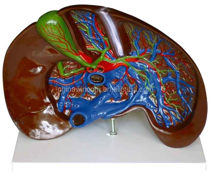 3D Liver Anatomy  CGTrader