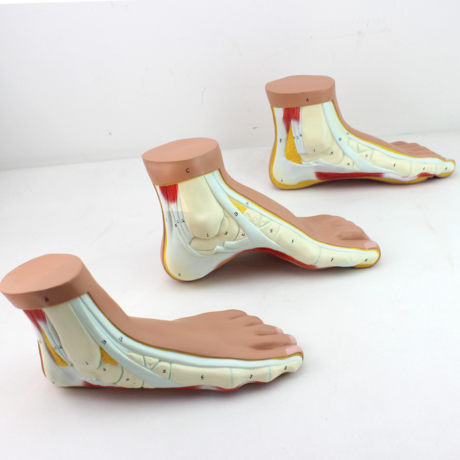Sell 12034 Medical Anatomy Foot Arch Modelhuman Muscle Model Buy
