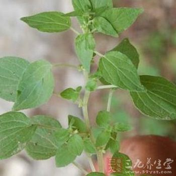 100% Natural medicine Pellitory plant roots Extract
