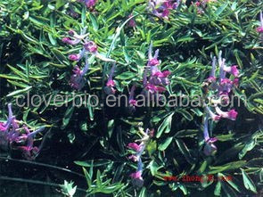 10:1 natural Rhizoma Corydalis extract corydalis yanhusuo W.T.Wang