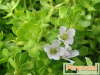 Supply Natural Bacopa Extract With Bacopaside 10-50% by HPLC