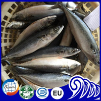 Cheap Frozen Pacific Mackerel seafood fish with size 300-500g
