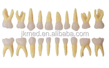 JKOMX0142 oral cavity temporary teeth model