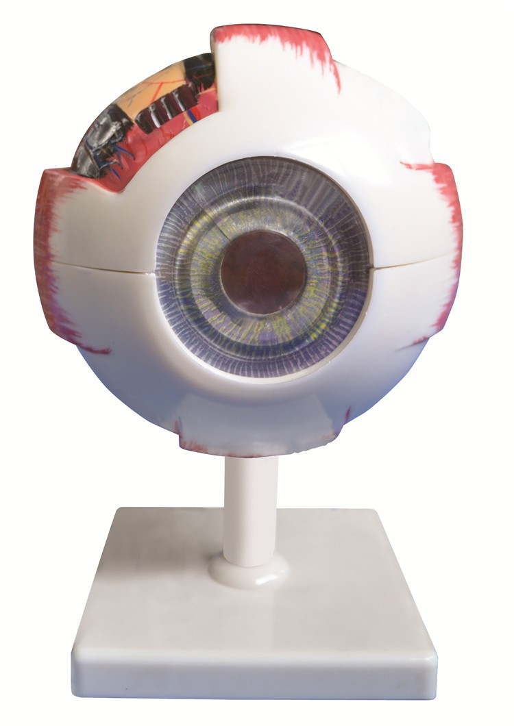 PVC Anatomical Human Eye Model 6 times of life size for medical model
