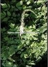 black cohosh root P.E