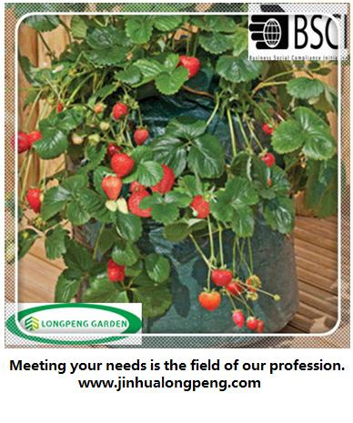 Use Strawberry Growing Bag in Strawberry Growing Season to Plant Strawberries from Seeds