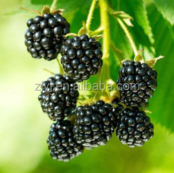 Alibaba golden supplier of frozen blackberry with competitive price for sale