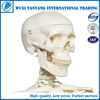 Artificial plastic 200 bones of adult human skeleton model 85cm