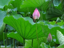 100% Natural Stock Lotus Leaf Extract