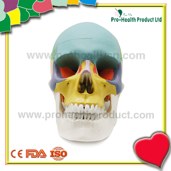 Top Hot Selling Colored Life-Size Plastic Medical Educational Science Models For Sale