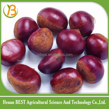 chinese chestnut hot sale in 2016 international market