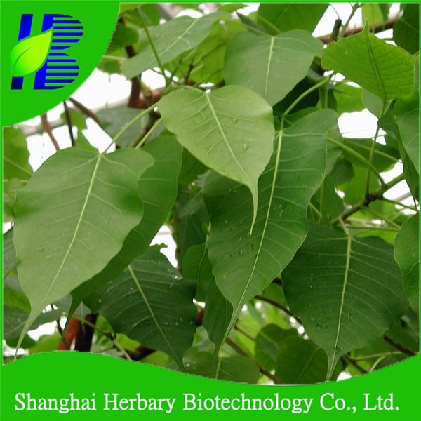 Quality Bodhi tree seeds for sale