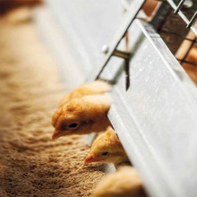 animal husbandry poultry feeding system equipment for layer chicken