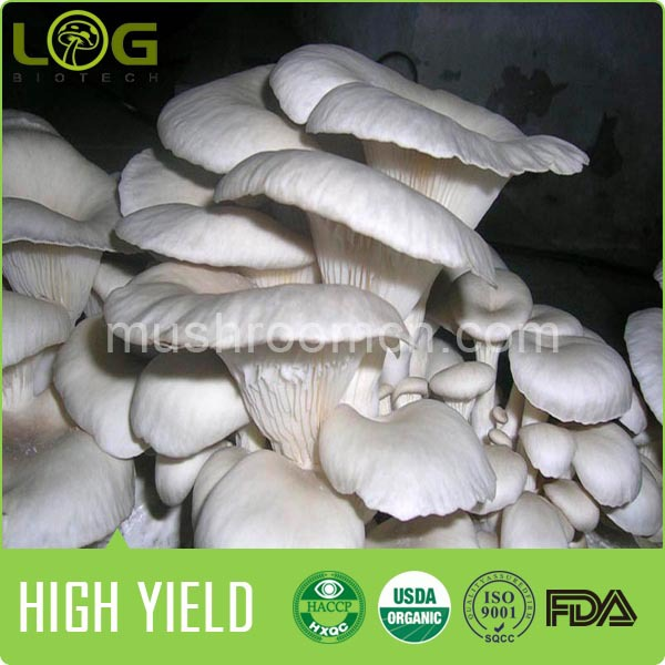 New Technology Health Oyster Mushroom Log Shape Cultivating Block