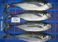 Frozen Horse Mackerel Whole Round 20cm+Trachurus Japonicus Frozen Horse Mackerel