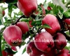 red delicous apples --huniu apple for Indian market
