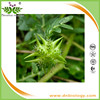 Iso9001 factory supply tribulus terrestris extract saponins 90% with kosher and halal certificates