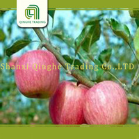 fresh fruits exporters/china apple export/fresh high quality red fuji apple