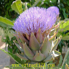medicinal herbs extract powder Artichoke Extract/ Plant Extract