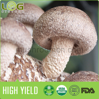500-700 Grams Higy Yield Stable Quality and with Comprehensive After-Sales Service Shiitake Mushroom Growing spawn bags