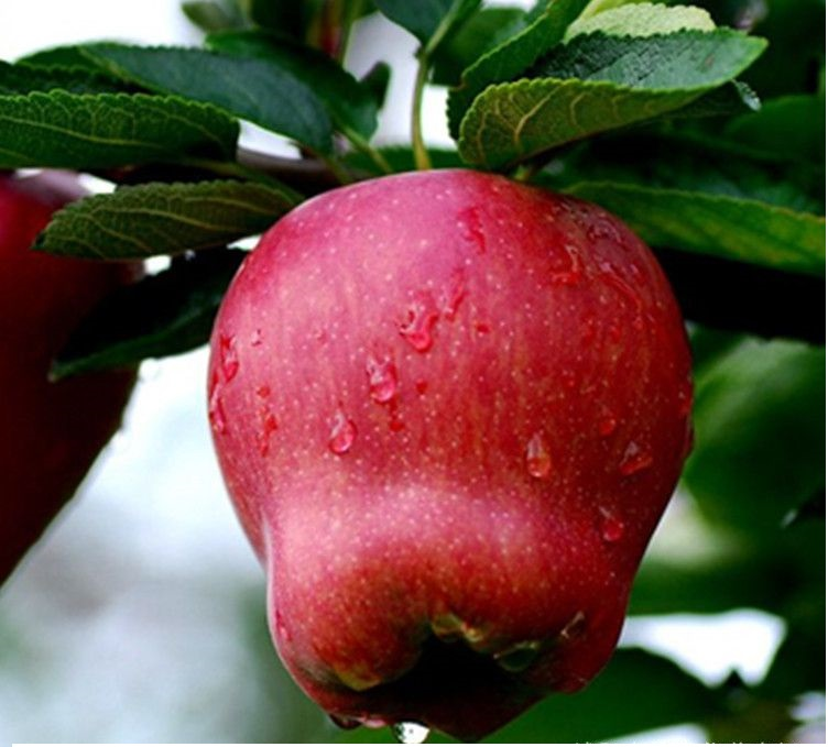 China fresh fruit for export red delicious apple fresh Huaniu apple