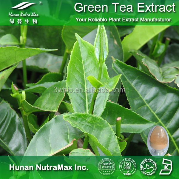 Plant Extract Best Green Tea Extract 98% EGCG 95% Tea Polyphenols for Weight Loss