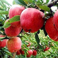 Hot sale Red Delicious Huaniu apple
