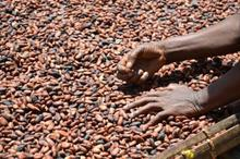High Grade Dried Cocoa Beans from Cameroon