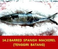 Narrow-Barred Spanish Mackerel / Tenggiri Batang