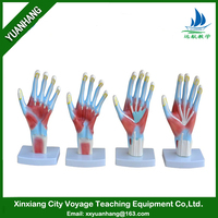 medical science subject and human anatomical type model / Human Hand Model (4 parts )