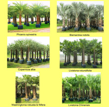 Palm Tree for Landscaping and Plant Nursery decorative ornamental