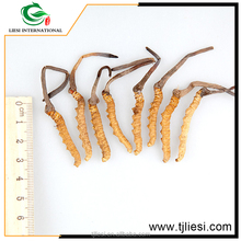 buy wholesale direct from chinasummer-grass winter-worm (chong cao)