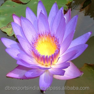 Blue Lotus Oil in absolute form