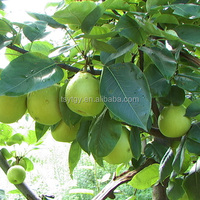Fresh Early Su Pear Sweet Pear exporter in China