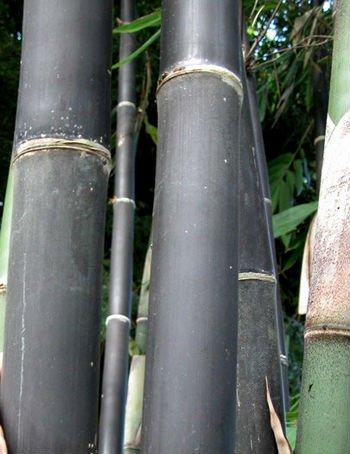 Gigantochloa atroviolacea java di bamb nero semi for Semi di bambu