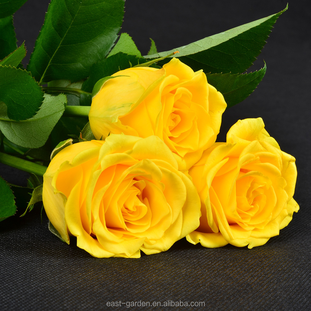 Best selling wedding fresh yellow color rose flowers from Yunnan China