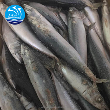 Deep Frozen Scientific Name Of Mackerel Fish Pacific Mackerel