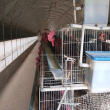 Guangzhou Factory Free Sample chicken farm south africa egg layer cages/large hen chicken