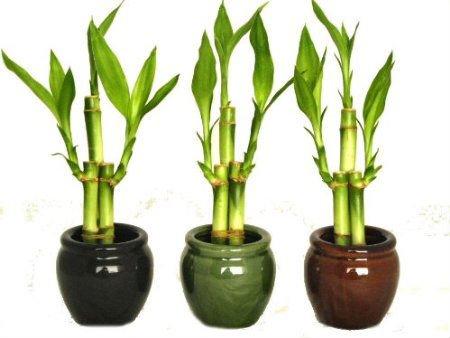 2 Pulgadas Lucky Bambú Plantas En Maceta - Buy Product on Alibaba.com