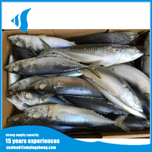 Scomber japonicus Frozen Pacific Chub Mackerel fish for sale