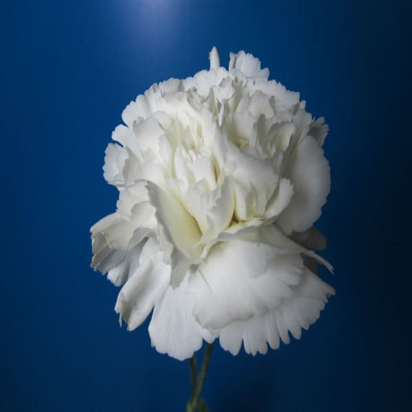 Wholesale Fresh Cut Flower Of White Carnation Export Carnation - Buy ...
