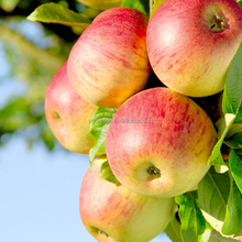 High quality sweet best price fuji apple fresh fruit from China supplier