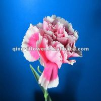 Multi-colored fresh cut carnations carnation flower fresh