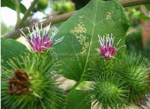 Burdock oil , Burdock root(niubang)